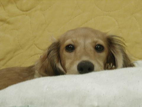 LENA'S MINI DOXIES - Puppies - Miniature Dachshunds - Dog