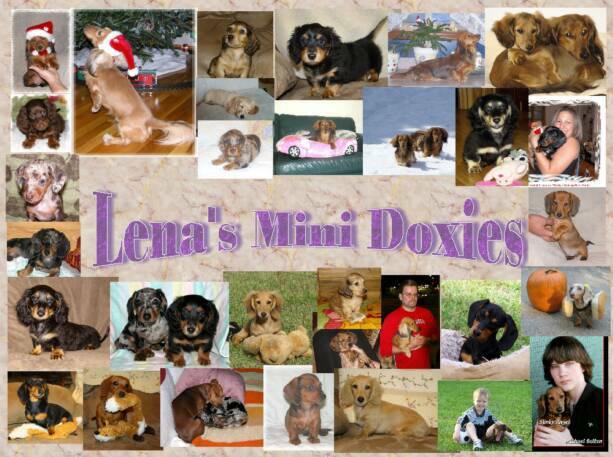 Lenas Mini Doxies Puppies Miniature Dachshunds Dog Breeders